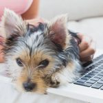 Yorkie with owner looking up how to potty train when living in apartment