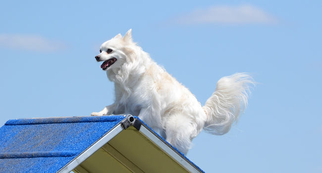 healthy american eskimo dog on agility course