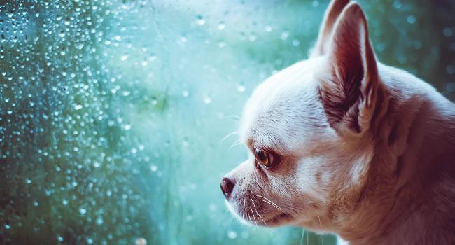 Sad dog looking outside at the rain