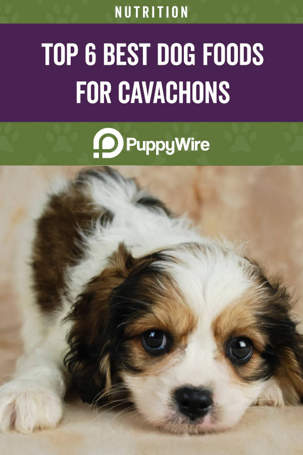 Top 6 Best Dog Foods for Cavachons