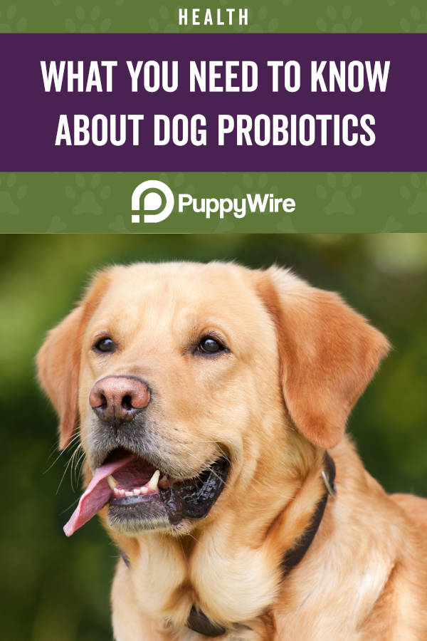 What You Need to Know About Probiotics for Dogs